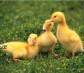 Фотография в Домашние животные Птички Гусята порода Линда. Гусята суточные. Вырастает в Тамбове 0