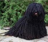 Изображение в Домашние животные Выставки собак Продаются щенки очень редкой и красивой породы в Коврове 30000