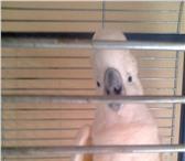 Фото в Домашние животные Птички Продам попугая какаду срочно 7 лет в Владикавказе 90000