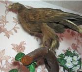 Изображение в Хобби и увлечения Охота Продаётся чулело орла на трофее. все подробности в Туле 16000