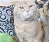 Изображение в Домашние животные Вязка Молодой котик, породы Шотландский скоттишь- в Екатеринбурге 900