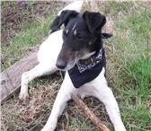Изображение в Домашние животные Потерянные Пропала собака. Окрас черно-белый вытянутая в Торжке 0