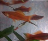 Изображение в Домашние животные Рыбки продам рыбок меченосчев около 10шт молодые в Комсомольск-на-Амуре 40