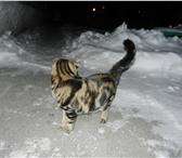 Фото в Домашние животные Вязка шотландский вислоухий кот для вязки на территории в Ростове-на-Дону 1000