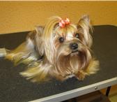 Фотография в Домашние животные Стрижка собак Предлагаем стрижки для собак и кошек,профессиональные в Лыткарино 900