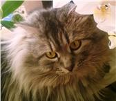 Фото в Домашние животные Вязка Опытный сибирский кот ищет подружку любой в Самаре 0