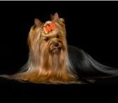 Фотография в Домашние животные Стрижка собак Профессиональная стрижка животных-модельная, в Москве 1200