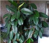 Изображение в Домашние животные Растения Фикус 2 метра высоты ухоженный в Улан-Удэ 5000