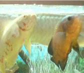 Фотография в Домашние животные Рыбки Продам неразлучную пару астронотусов. Астронотусы в Магнитогорске 0