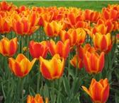 Фото в Домашние животные Растения Принимаются заявки на тюльпаны к 8 Марта!Цветки в Перми 30