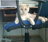Фотография в Домашние животные Вязка Ищем кота для вязки(шотланского страйта(прямоухого)) в Нефтекамске 0