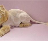 Фотография в Домашние животные Услуги для животных Стрижка собак и кошек на дому (гигиенический в Сочи 1000