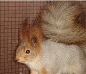 Изображение в Домашние животные Грызуны Калужский питомник занимается разведением в Калуге 0