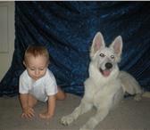 Фотография в Домашние животные Потерянные Потерялась белая овчарка,  девочка,  8 месяцев в Челябинске 0