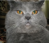 Фотография в Домашние животные Вязка Красавец родословный британец 15 кг ищет в Казани 0