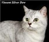 Фотография в Домашние животные Вязка Вязка кошекБольшой Международный чемпион в Москве 0
