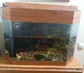 Foto в Домашние животные Рыбки + 2 больших сома и грунт в Красноярске 1000