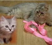Изображение в Домашние животные Вязка Для вязки пушистую кошечку(желательно белую)ждет в Оренбурге 0