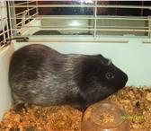 Фотография в Домашние животные Грызуны Отдам морскую свинку в добрые руки по семейным в Перми 0