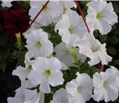Изображение в Домашние животные Растения Отличная рассада цветов и овощей для балконов, в Набережных Челнах 8