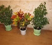 Изображение в Домашние животные Растения Растения – деревца: комнатные ( тропические в Магнитогорске 100