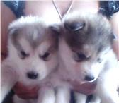 Фотография в Домашние животные Выставки собак Чистокровные щенки Аляскинского маламута.5 в Москве 20000