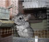 Изображение в Домашние животные Грызуны Ферма продает племенных шиншилл различных в Ижевске 4000
