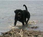 Foto в Домашние животные Вязка собак Предлагается для вязки молодой, энергичный, в Астрахани 0