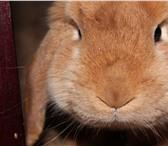 Foto в Домашние животные Грызуны Отдаю кролика в хорошие руки. Добрый, чистоплотный, в Екатеринбурге 2000
