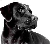 Foto в Домашние животные Потерянные Чёрный лабрадор, уже четвёртый день бегает в Сочи 0