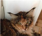 Фото в Домашние животные Вязка самку, мейн-кун, два года,все документы, в Самаре 1000