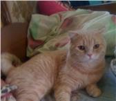 Фото в Домашние животные Вязка Шотландский кот (страйт) красавец- мужчина в Екатеринбурге 1700
