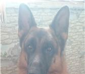 Фотография в Домашние животные Вязка собак Предлагаю на вязку породистого кобеля Немецкой в Ростове-на-Дону 0