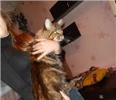 Изображение в Домашние животные Вязка Опытный кот породы мейн-кун приглашает на в Пензе 10000