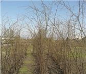 Фото в Домашние животные Растения Продам саженцы липы мелколистной,высота 1,8-2,5 в Москве 850