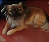 Фото в Домашние животные Услуги для животных Девочка пекинес полутора лет ,ищет мальчика в Хабаровске 0