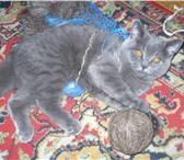Фотография в Домашние животные Вязка Кот Алекс ищет кошку, восемь месяцев,.есть в Набережных Челнах 500