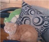 Foto в Домашние животные Вязка Окрас кремовый- тебби. Ищем кошечку для вязки. в Екатеринбурге 1600