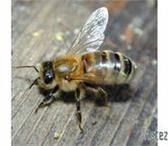 Изображение в Домашние животные Разное Пчелопакеты (2+2). Карпатка. Доставка в регионы в Новокузнецке 3200