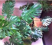 Foto в Домашние животные Растения Продаю комнатные цветы (шефлера, фикус Бенджамина, в Сыктывкаре 50000