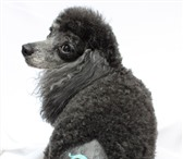 Фотография в Домашние животные Стрижка собак 20 лет служим красоте• Тримминг, купание, в Москве 1000
