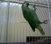 Изображение в Домашние животные Птички Продаю венисуэльских амазонов есть выбор. в Колпино 17000