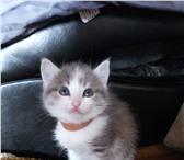 Отдам котят за символичную 4320093 Домашняя кошка фото в Екатеринбурге