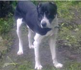 Фото в Домашние животные Вязка собак предлагаем вязку собаки с среднеазиатской в Пскове 5000