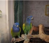Изображение в Домашние животные Птички продаю пару попугаев синеголовых пионусов! в Красноярске 15000
