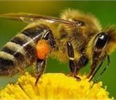 Фото в Домашние животные Разное Продам пчелосемьи местных пород,отлично перезимовавшие. в Челябинске 2500