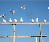 Изображение в Домашние животные Птички Белые голуби для Вашей свадьбы это хорошая в Санкт-Петербурге 1000