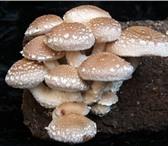 Фото в Домашние животные Растения Шиитаке – вкусный целебный гриб. Научиться в Орле 2100