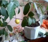 Фотография в Хобби и увлечения Разное Продаётся лимон плодоносящий комнатный.Настоящий в Екатеринбурге 2000
